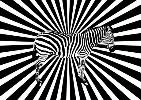 Eye twisting zebra