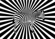 Eye twisting zebra