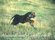 Bengal Tiger Running r