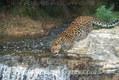 Amur Leopard Cub drinking from stream,