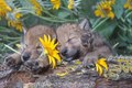 gray wolf pups sleeping in flowers