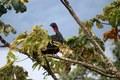 Guan Bird Costa Rica